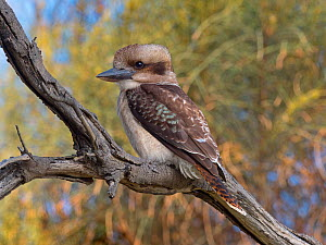 RF - Kookaburra (Dacelo novaeguineae) perched on branch, Tasmania (This image may be licensed either as rights managed or royalty free.)  -  Ernie  Janes