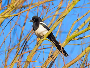 RF -  Magpie (Pica pica) perched in hedgerow, Titchwell, Norfolk, England, UK, December. (This image may be licensed either as rights managed or royalty free.)  -  Ernie  Janes