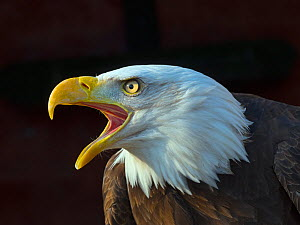 RF - Bald eagle (Haliaeetus leucocephalus) calling, captive, occurs in North America. (This image may be licensed either as rights managed or royalty free.)  -  Ernie  Janes