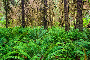 Ferns and moss covered trees in the Hoh Rain Forest of Olympic National Park.  Washington, USA. - Kirkendall-Spring