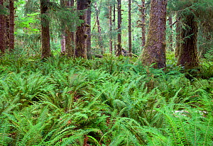 Ferns and moss covered trees in the Hoh Rain Forest of Olympic National Park. Washington, USA. September. - Kirkendall-Spring