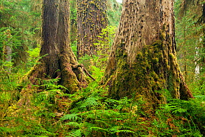 Hoh Rain Forest in Olympic National Park. Washington, USA. September. - Kirkendall-Spring