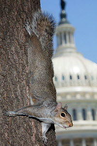 Eastern gray squirrel (Sciurus carolineses) on tree trunk with US Capitol building in  background, Washington DC, USA. June 2017. - John Cancalosi