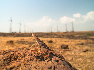 Fan-throated lizard (Sitana ponticeriana) female in front of  Chalkewadi, Maharashtra, India.  -  Sandesh  Kadur