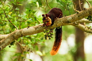 Indian giant squirrel (Ratufa indica) on Curtain fig (Ficus microcarpa) Karnataka, Western Ghats, India. - Sandesh  Kadur