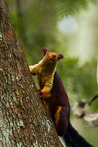 Indian giant squirrel (Ratufa indica) on Curtain fig (Ficus microcarpa) Tamil Nadu, India. - Sandesh  Kadur