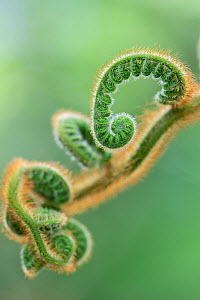Tree fern (Cyathea princeps) frond unfurling, cultivated specimen, occurs in Mexico / Central America.  -  Adrian Davies