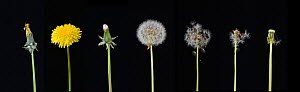 Dandelion (Taraxacum officinale), development from bud to seed. Digital composite. - Adrian Davies