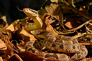 Fer-de-lance (Bothrops lanceolatus) captive, endemic to Martinique.  -  Daniel  Heuclin