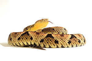 Fer-de-lance (Bothrops lanceolatus) on white background, captive, endemic to Martinique.  -  Daniel  Heuclin