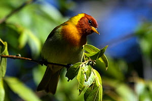 Rufous headed tanager (Hemithraupis ruficapilla) male, Intervales State Park, Sao Paulo, Atlantic Forest South-East Reserves, UNESCO World Heritage Site, Brazil.  -  Joao Burini