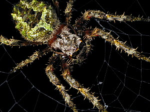 Orb weaving spider (Parawixia sp), Intervales State Park, Sao Paulo, Atlantic Forest South-East Reserves, UNESCO World Heritage Site, Brazil.  -  Joao Burini