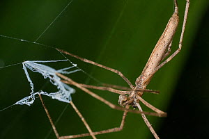 Net casting spider (Deinopis sp) with web to capture prey, Intervales State Park, Sao Paulo, Atlantic Forest South-East Reserves, UNESCO World Heritage Site, Brazil. - Joao Burini