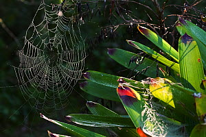Spider webs on Bromeliad (Bromeliaceae sp), webs covered with dew droplets, Intervales State Park, Sao Paulo, Atlantic Forest South-East Reserves, UNESCO World Heritage Site, Brazil.  -  Joao Burini