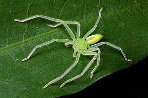 Green huntsman spider (Olios sp), Intervales State Park, Sao Paulo, Atlantic Forest South-East Reserves, UNESCO World Heritage Site, Brazil. - Joao Burini