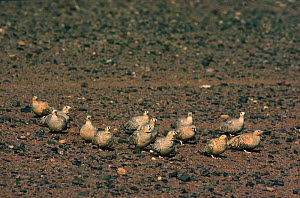 Spotted sandgrouse (Pterocles senegallus) and Crowned sandgrouse (Pterocles coronatus) near a water hole in the morning .  -  Alain Dragesco-Joffe