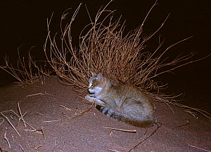 African wild cat (Felis lybica) male at night, Azaouak, Sahara, Niger, - Alain Dragesco-Joffe