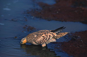 Spotted sandgrouse (Pterocles senegallus) female drinking at waterhole, Sahara.  -  Alain Dragesco-Joffe