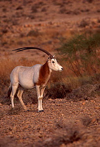 Scimitar oryx (Oryx dammah) male, South Tunisia, Sahara.  -  Alain Dragesco-Joffe