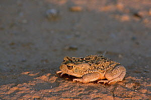 Mauretanian toad (Bufo mauritanicus) adult at sunset, Sahara, Tunisia, South Tunisia.  -  Alain Dragesco-Joffe