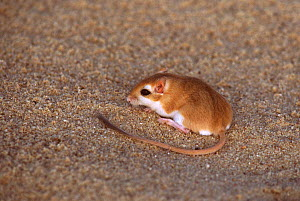 Hairy footed gerbil (Gerbillus latastei) in Sahara Desert.  -  Alain Dragesco-Joffe