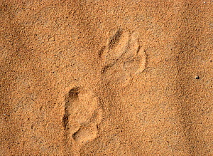 Striped hyena (Hyaena hyaena) footprints, showing typical larger rouder track of the front feet compared to back feet. Azaouak, Sahara Desert, Niger, .  -  Alain Dragesco-Joffe