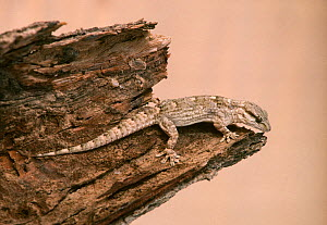 African wall gecko (Tarentola ephippiata) adult on the stump of a dead tree, Sahara, Tunisia.  -  Alain Dragesco-Joffe