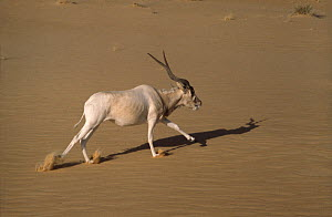 Addax antelope (Addax nasomaculatus) walking in the desert, Sahara. Small repro only  -  Alain Dragesco-Joffe