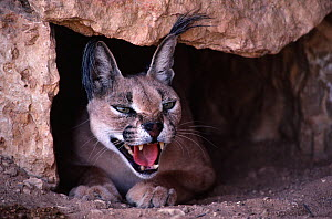 Caracal (Felis caracal) adult male in its den, Air Mountains, Sahara, Niger.  -  Alain Dragesco-Joffe