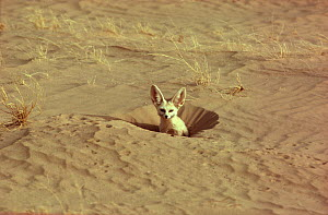 Fennec fox (Fennecus zerda ) at burrow, Sahara Desert. Small repro only  -  Alain Dragesco-Joffe