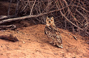 Pharaoh eagle-owl (Bubo ascalaphus) on ground. Sahara Desert.  -  Alain Dragesco-Joffe
