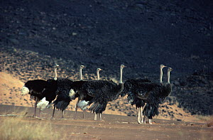 Ostrich (Struthio camelus) flock, Sahara Desert. Small repro only.  -  Alain Dragesco-Joffe