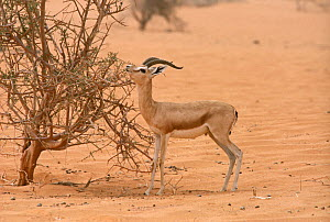 Dorcas gazelle (Gazella dorcas) male feeding on tree Maerua tree during very dry period. Tenere, Sahara, Niger.  -  Alain Dragesco-Joffe