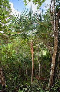 Palm (Coccothrinax montana) trees in tropical forest, Hispaniola.  -  Eladio Fernandez