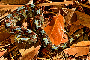 Butterfly / Rhinoceros viper (Bitis nasicornis) in leaf litter. Captive. Occurs in West and Central Africa.  -  Daniel  Heuclin
