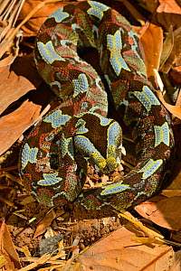 Butterfly / Rhinoceros viper (Bitis nasicornis). Captive. Occurs in West and Central Africa.  -  Daniel  Heuclin