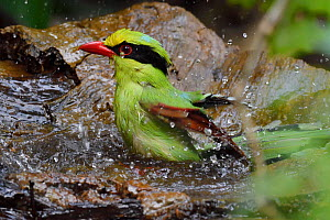 Common green magpie (Cissa chinensis) bathing, Hong Bung He, Dehong, Yunnan, China - Staffan Widstrand / Wild Wonders of China