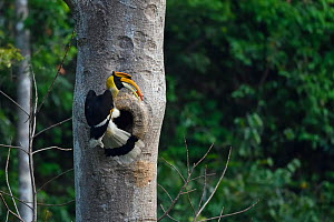Great pied hornbill (Buceros bicornis) bird photographed perched on a tree on its nest in Hong Bung He, Dehong, Yunnan, China - Staffan Widstrand / Wild Wonders of China