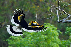 Great pied hornbill (Buceros bicornis) bird photographed in flight in Hong Bung He, Dehong, Yunnan, China - Staffan Widstrand / Wild Wonders of China