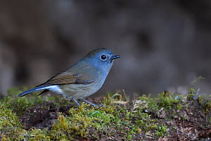 David's fulvetta (Alcippe davidii) perched on moss covered soil on the ground in Baihualing, Gaoligongshan, Yunnan, China  -  Staffan Widstrand / Wild Wonders of China