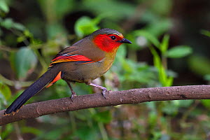 Red-faced liocichla (Liocichla phoenicea) bird perched on a branch in  Baihualing, Gaoligongshan, Yunnan, China  -  Staffan Widstrand / Wild Wonders of China