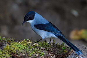 Black-headed sibia (Heterophasia melanoleuca) perched on moss covered parts of a tree in Baihualing, Gaoligongshan, Yunnan, China  -  Staffan Widstrand / Wild Wonders of China