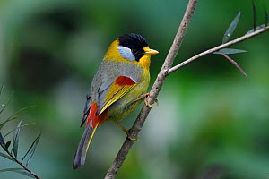 Silver-eared mesia (Leiothrix argentauris) bird perched on a branch in Baihualing, Gaoligongshan, Yunnan, China  -  Staffan Widstrand / Wild Wonders of China