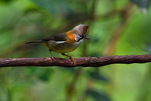 Whiskered yuhina (Yuhina flavicollis) Baihualing, Gaoligongshan, Yunnan, China  -  Staffan Widstrand / Wild Wonders of China