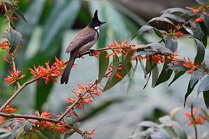 Red-whiskered bulbul (Pycnonotus jocosus) perched on abranch with orange flowers in  Hong Bung He, Dehong, Yunnan, China  -  Staffan Widstrand / Wild Wonders of China