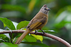 Flavescent bulbul (Pycnonotus flavescens) Hong Bung He, Dehong, Yunnan, China  -  Staffan Widstrand / Wild Wonders of China