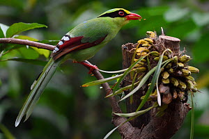 Common green magpie (Cissa chinensis) perched on a tree branch feeding on fruit in Hong Bung He, Dehong, Yunnan, China - Staffan Widstrand / Wild Wonders of China