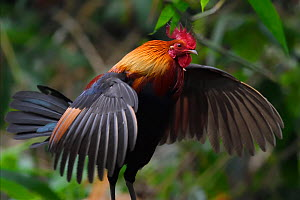 Red junglefowl (Gallus gallus) male bird walking with wings spread, in forest of Hong Bung He, Dehong, Yunnan, China  -  Staffan Widstrand / Wild Wonders of China