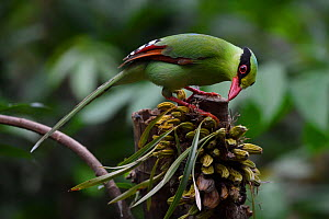 Common green magpie (Cissa chinensis) perched and feeding on fruit in Hong Bung He, Dehong, Yunnan, China - Staffan Widstrand / Wild Wonders of China