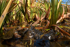 Common frogs (Rana temporaria) mating and spawning in garden pond, Bradford-on-Avon, Wiltshire, England, UK. March.  -  Nick Upton